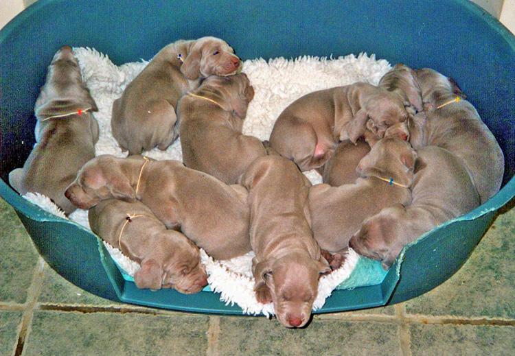 O-litter-puppies